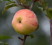 Merlins æble - bardsey apple