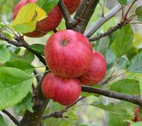 Browns Apple (cider apple)