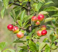 This is malus sieversii apple that looks like the small gold apples from Puabis tomb. 3 small apples in a cluster.